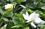 花卉圖集:梔子花