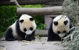 中國大熊貓日記:熊貓吃竹子,萌萌的太可愛了