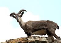 岩羊:懸崖峭壁如履平地,卻常因太得瑟而喪命