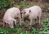 豬突然氣喘咳嗽怎麼辦?這些治療方法你用過嗎?效果很好