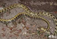 農村老家的柴房裡有個小洞,看見一條黑蛇進去了,如何把蛇抓出來呢?