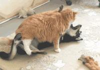 搞笑GIF:橘貓你快減減肥吧!都已經比狗胖了!