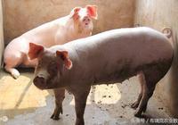 11月第二週:生豬、玉米、小麥、雞蛋、肉雞、大豆、白糖重要消息