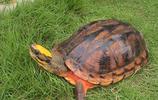 烏龜圖集:金錢龜