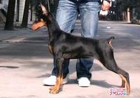 杜賓犬是最好的護衛犬,養一隻杜賓犬多少錢呢?