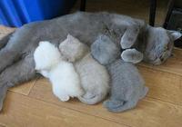 藍貓媽媽生下貓仔,結果三隻貓仔顏色很搞怪?