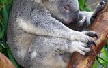 動物圖集:生有一對大耳朵,鼻子裸露且扁平,沒有尾巴的小考拉