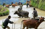 在貴州,有一種牛糞種出來的米,你可吃過?