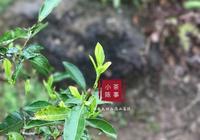 存了7年的老白茶,為什麼只有寡淡的香氣?