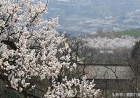 西安·藍田·華胥杏花朵朵開