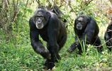 黑猩猩圖片大全