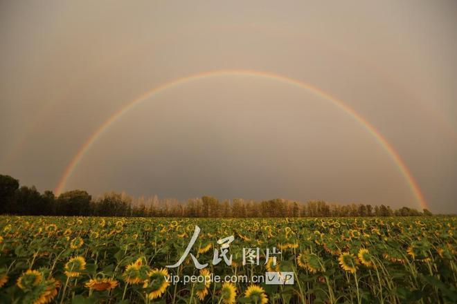 新疆哈巴河:向日葵上的彩虹 美如仙境醉路人