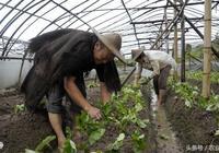 大棚草莓移栽有竅門:怎麼提高存活率?怎麼施肥?看完你就知道了