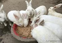 兔子大家都知道,種公兔種母兔飼養方式卻不同,這些你都瞭解嗎?