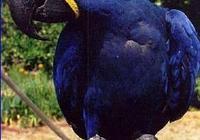 一隻身價高達20多萬、寵物鸚鵡品種中最大的種類,可以進來了解