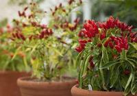 在室內也能種出不斷開花結果的盆栽辣椒,就是滿足了這幾個條件