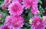 """""""這種花""""成了現在庭院花卉的主流,80多種花色供您欣賞,喜歡嗎"""