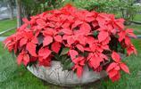 植物美圖:一品紅