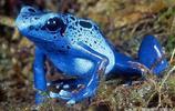 幽靈箭毒蛙,毒蛙中的霸王!