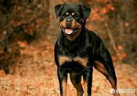 哪些狗可以打敗羅威納?