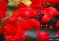 血鸚鵡迷人體色說變就變,怎麼辦?