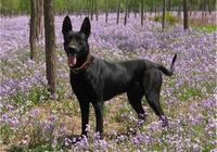 對於黑狼犬,犬友們瞭解多少,什麼樣的犬才能稱得上黑狼犬三個字