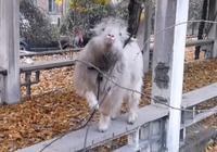 小土狗不讓山羊喝水,被山羊擠到角落裡頂,羊:服不服?