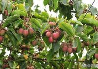 有空地千萬別閒著,高產果樹,又好吃又能有收入