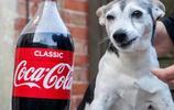 20歲老狗喝可樂上癮,終究還是爛掉了滿口的牙