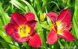 色彩絢麗的萱草花