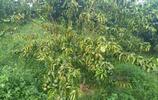 柑橘種植中,天牛對柑橘危害