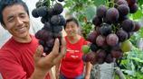 夏黑葡萄既好看又好吃?不用著急一篇文章保你學會!