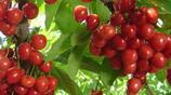 種花不如種水果,這幾種水果盆栽滿足你吃新鮮水果的願望