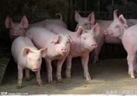 農民學養豬,養豬行業分析