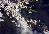 安徽天堂寨:人間三月 漫山遍野櫻花初綻