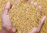 """近期水稻價格為何""""跌跌不休""""?粳稻價格只有1.36元/斤,2019年下半年1.5元/斤能否實現?"""