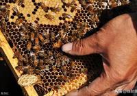 蜂群中出現王臺卻沒有雄蜂是怎麼回事?會影響蜂王交尾嗎?