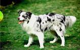 隕石的邊境牧羊犬,你喜歡那隻!