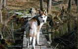 動物圖集:阿拉斯加雪橇犬