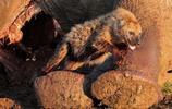 7只獅子突然出現搶奪食物,鬣狗嚇得躲進大象屍體裡
