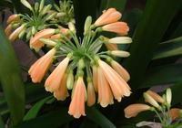 很多人養君子蘭,可你們見過這樣的君子蘭盆栽嗎!