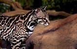 豹貓是產於亞洲的貓科動物