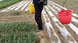 農忙時節到,澆完了菜園子再拔點菠菜包餃子吃