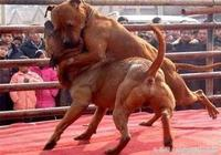 比特犬欲欺負中國狼狗,主人沒拉住,結果竟被狼狗暴揍!