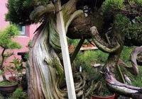 探究生命的舍利!枯榮共生——盆景舍利幹、神枝與水線製作!