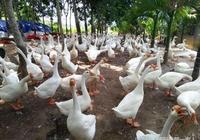 養鵝的常見禽病防治—禽副傷寒