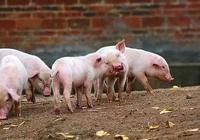 仔豬黃白痢的最有效的治療方法是什麼?
