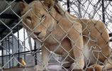 這頭獅子原要被安樂死,被同伴每天親額頭後發生改變