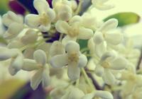 銀桂花好還是白桂花好 銀桂花和白桂花的區別是什麼