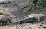 獅子試圖攻擊河馬,突然衝過來的身影開始驅逐獅子最後獅子都哭了